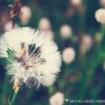 19-52-dandelion