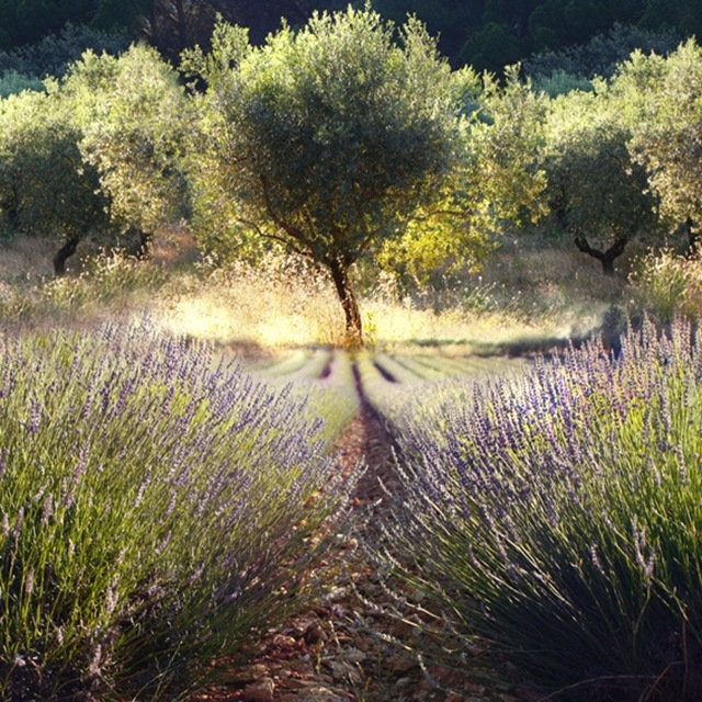 Five Ways to Use Lavender